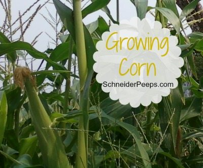 SchneiderPeeps: Growing Corn
