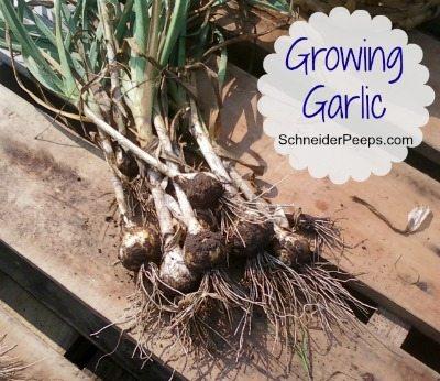 SchneiderPeeps: Growing Garlic