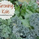 In the garden…kale