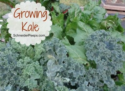 SchneiderPeeps: Growing Kale