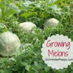 In the garden…melons