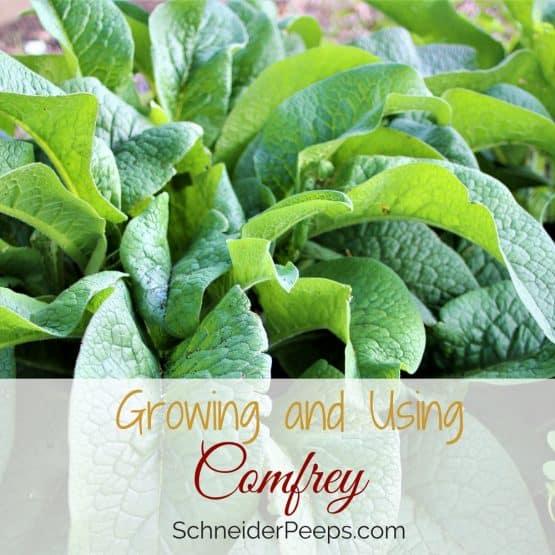 In the Garden ~ Growing Comfrey