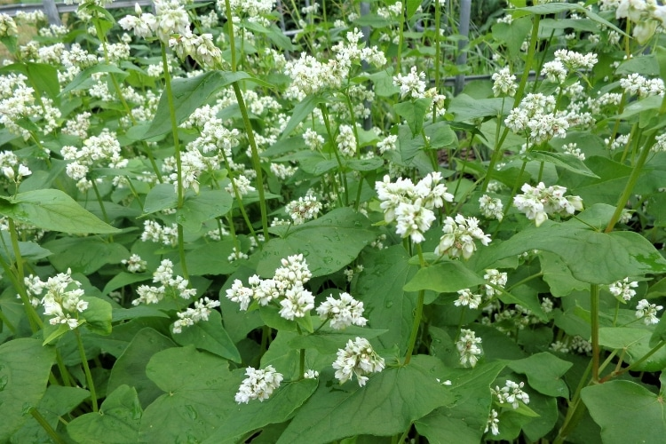 image of growing buckwheat as a cover crop for healthy garden soil