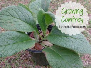 ScheniderPeeps: Growing Comfrey