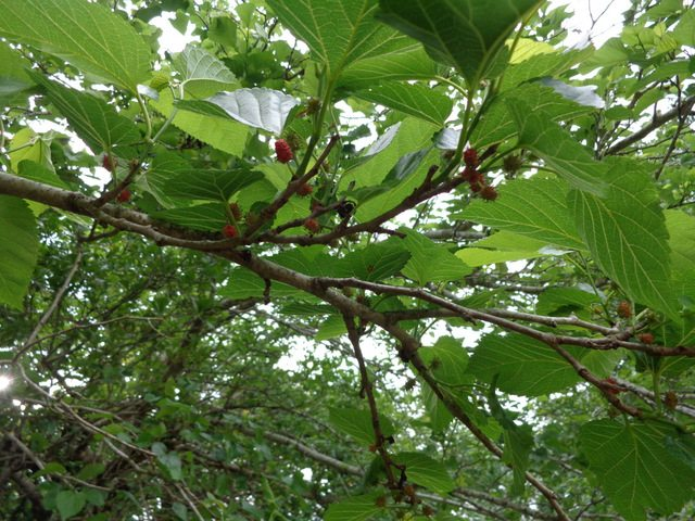 Early mulberries