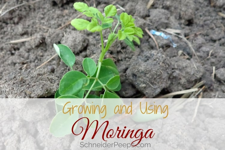 image of small moringa oleifera tree in ground