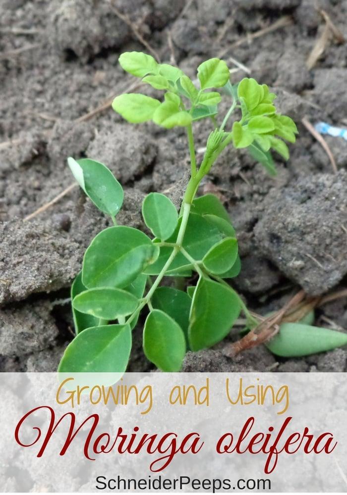 small moringa oliefera plant growing