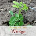 Growing and Using Moringa