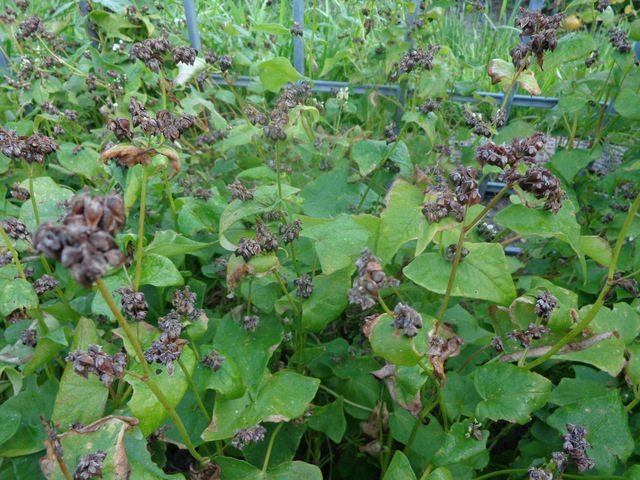 buckwheat ready to harvest