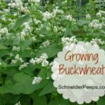 SchneiderPeeps - Growing Buckwheat - for a cover crop. for bees and for seed