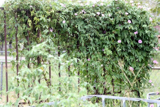 morning glories overrunning garden