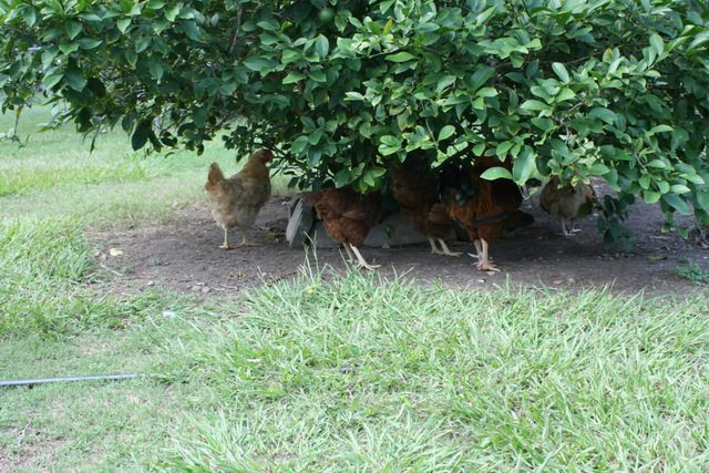 chickens under lemon tree