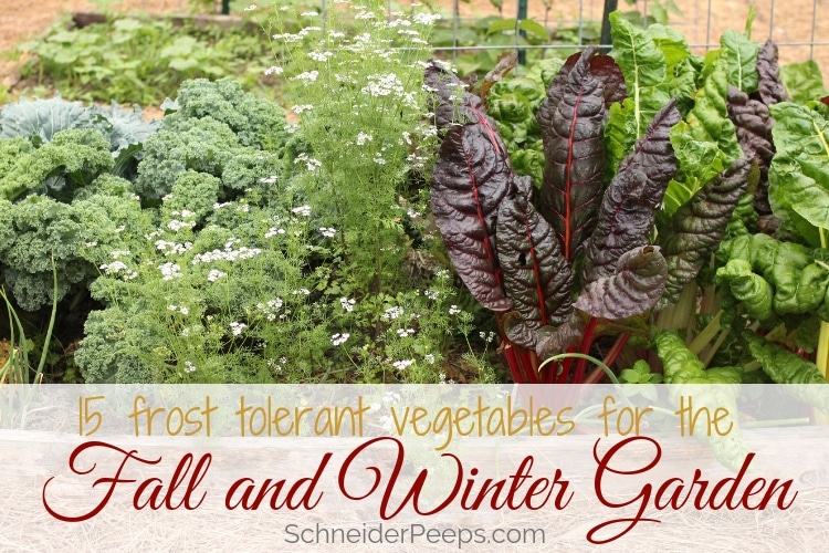 image of fall garden bed with swiss chard, kale, cilantro in bloom, and cabbage