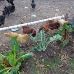 chickens with pvc waterer