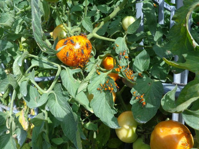 image of leaf footed bugs on tomato plants