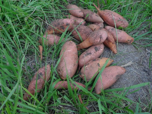 partial sweet potato harvest