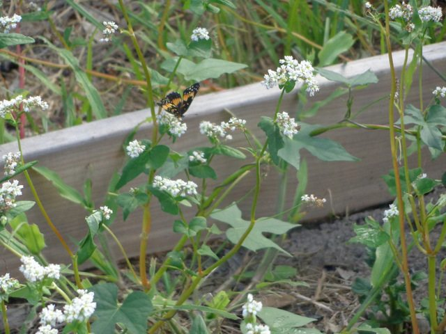 butterfly on buckwheat