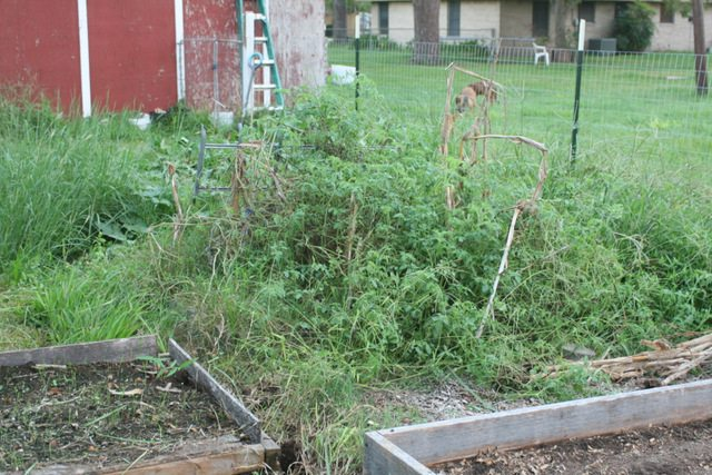 overgrown tomato patch