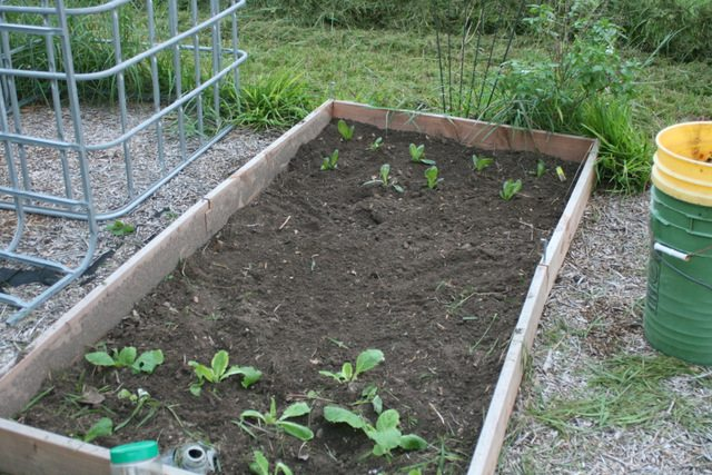 lettuce and Chinese cabbage transplants