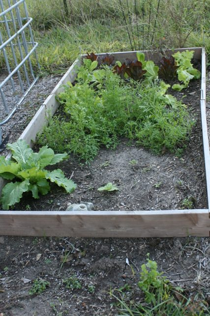chinese cabbage and lettuce bed