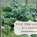 SchneiderPeeps - The December Garden in zone 9 is full of green. Cooler temperatures and more rain is just what the garden needs.