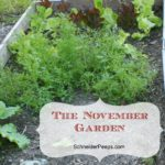 The November Garden in a gardening zone 9 is full of winter greens, carrots, onions, the last of the warm weather herbs and even some citrus.