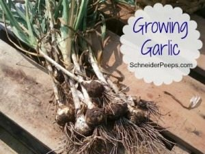 Growing-Garlic-300x259