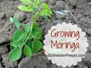 Growing-Moringa-300x259