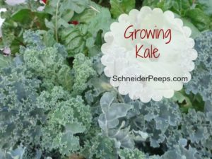 SchneiderPeeps - Growing Kale