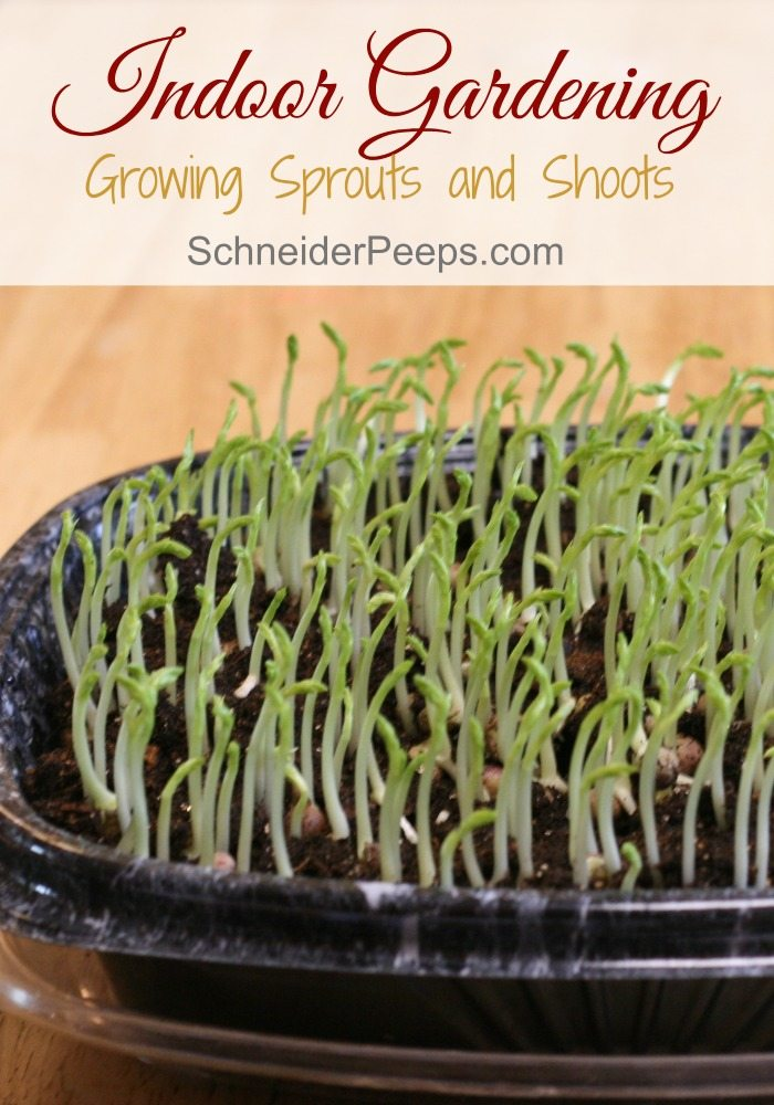 SchneiderPeeps - Indoor Gardening - Growing pea shoots inside can help you get the nutrients you need during the winter. With just a little pit of space and light you can have your own indoor garden.