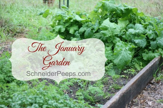 SchneiderPeeps - The January Garden in zone 9 is full of green and looks like many zones late spring garden. We are harvesting vegetables such as cabbage, kale, cauliflower and swiss chard.
