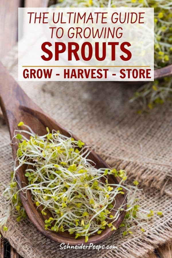 image of sprouts on a wooden spoon on burlap