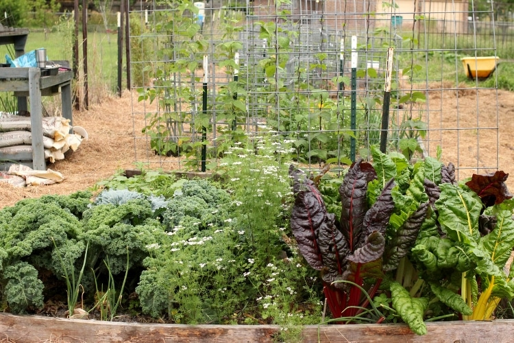 image of garden bed with kale, swiss chard, onions, and cilantro growing