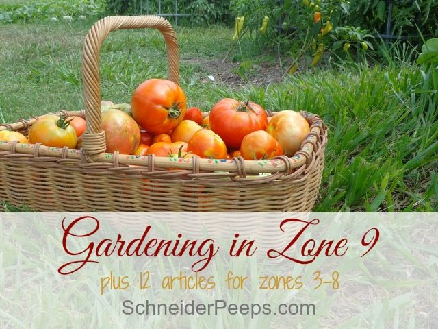SchneiderPeeps - Gardening in zone 9 is a year round project. Learn what to plant and harvest each month, plus what to do in the dead of summer. Plus tips for other zones