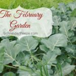 SchneiderPeeps - The February Garden in zone 9 is full of mature cold weather crops and the beginnings of early spring crops. The fruit trees are just beginning to bud and spring is on the horizon.