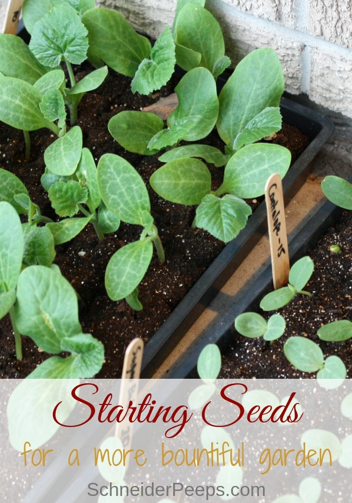 image of squash seedlings in seed starting tray