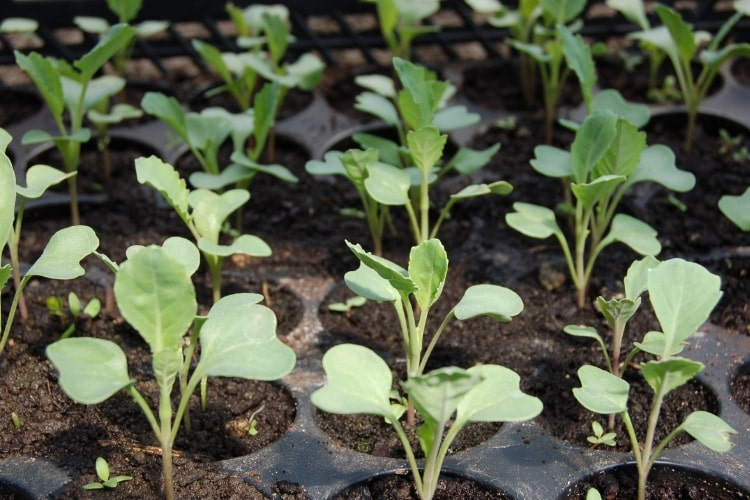 image of cabbage seedlings