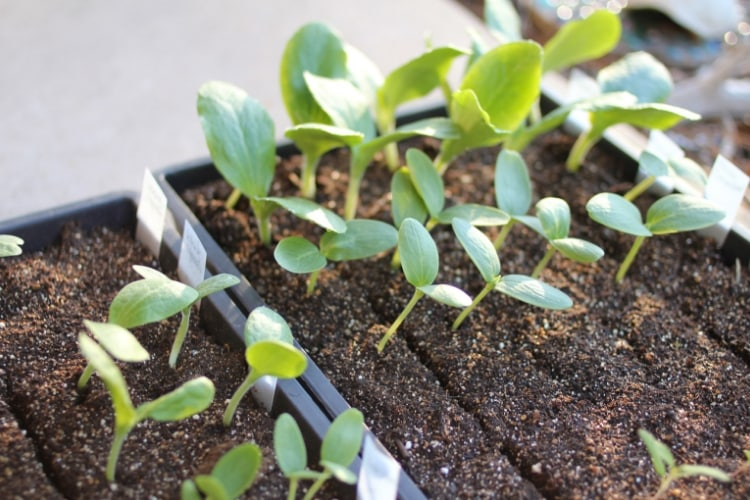 image of squash seedlings