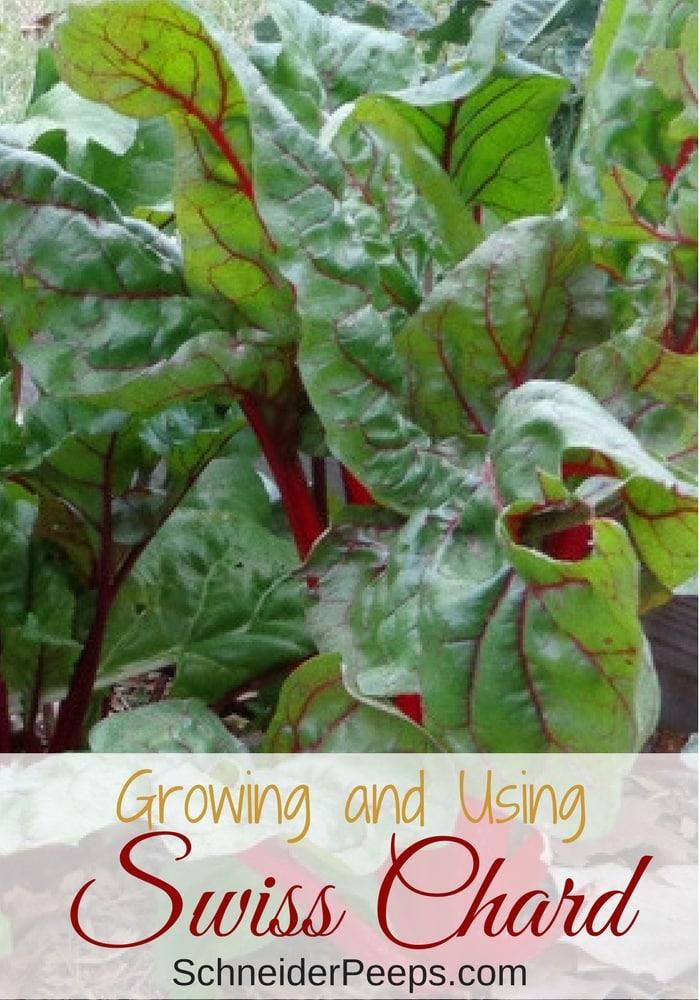 swiss chard growing in garden