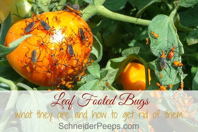 Leaf footed bugs can cause a lot of damage to crops like tomatoes, pecans, peaches and tender young crops. Learn how to control them organically.