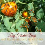 In the garden…leaf footed bugs