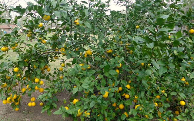image of Meyer lemon tree loaded with yellow ripe lemons