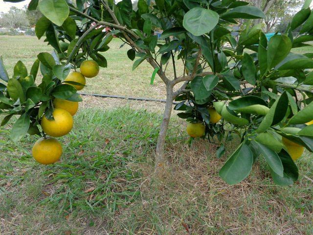 SchneiderPeeps - orange tree