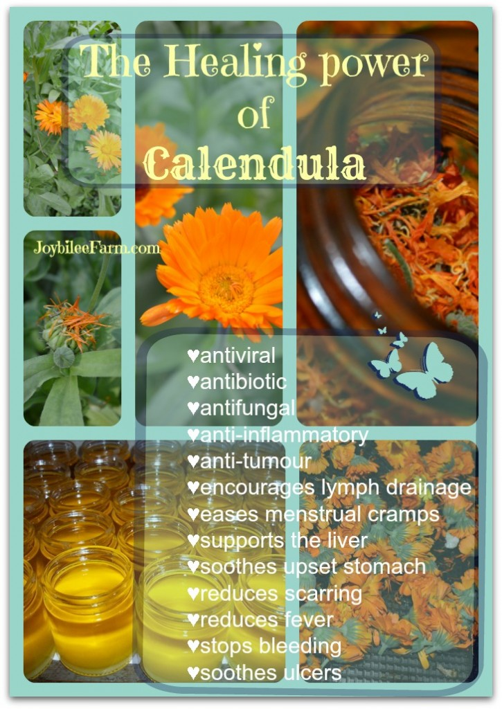 calendula-healing-power-725x1024