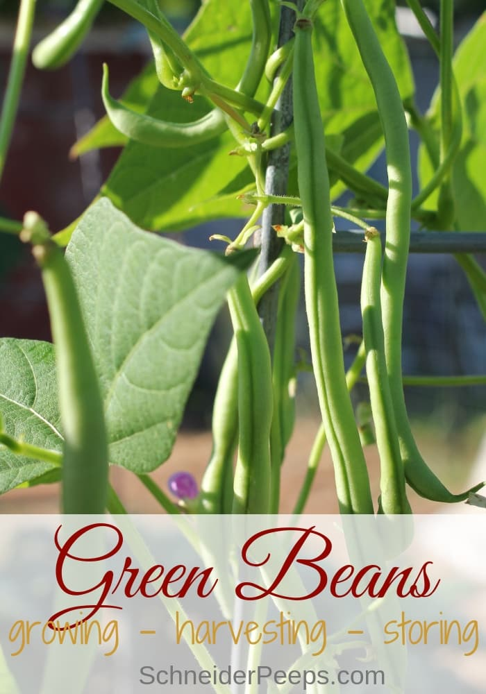 image of emporite green beans