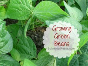 SchneiderPeeps - Growing green bean is a fun and easy project to do with children. Not to mention a great way to reduce your grocery budget. Many tips for growing green beans in this post.