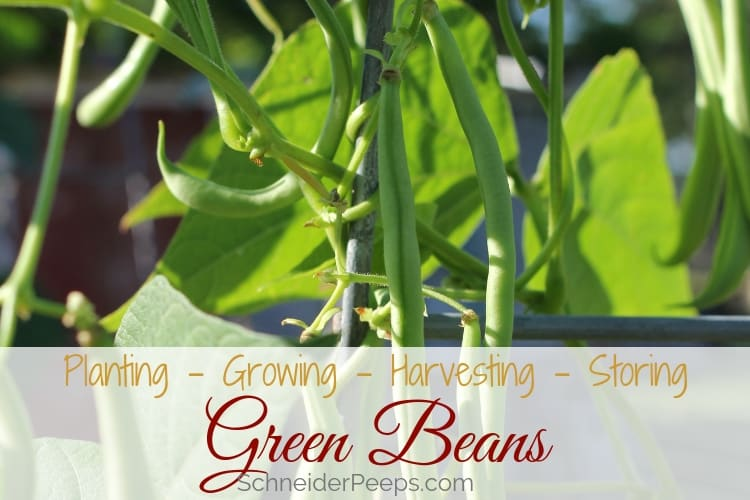 image of growing green beans