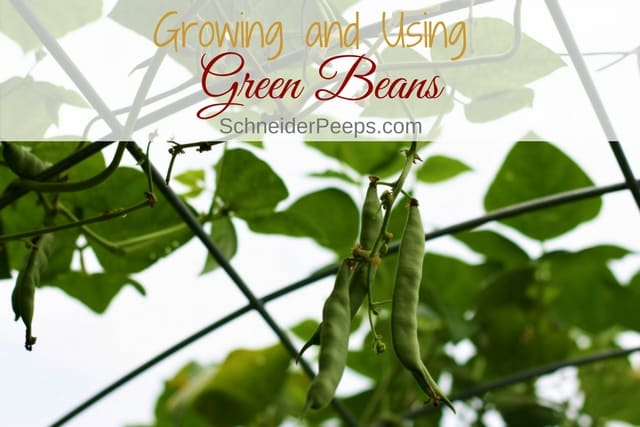 Growing green bean is a fun and easy project to do with children. Not to mention a great way to reduce your grocery budget. Many tips are in this post.