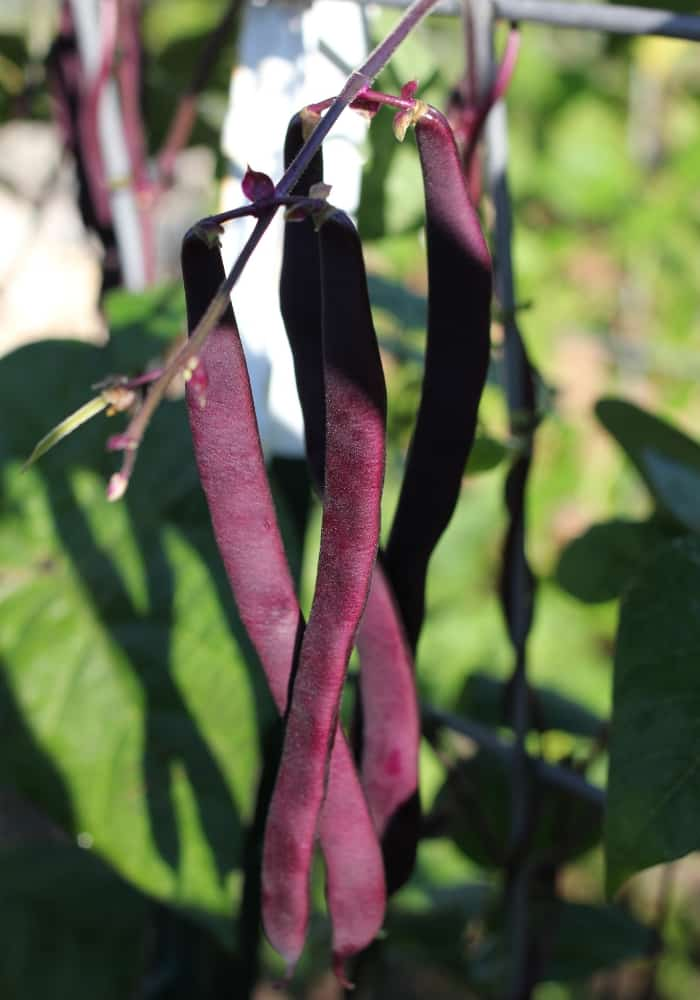 image of purple podded beans on plant