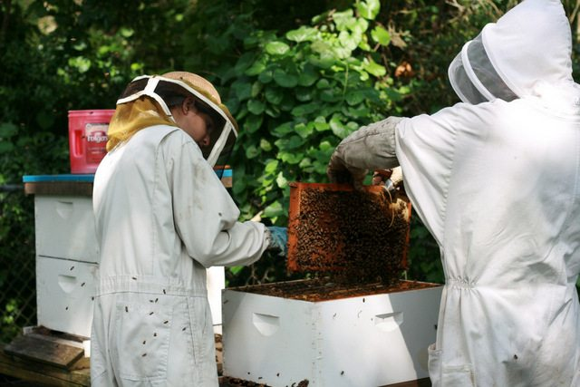Our first honey harvest of the year. We harvest from both a top bar hive and two Langsthroth hives. We got about 6 gallons of honey plus some honey comb.